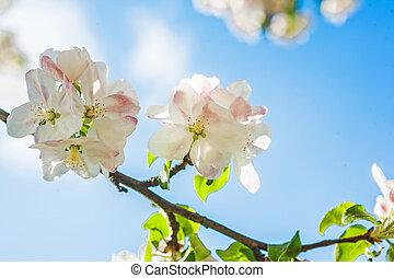 bonito, maçã, céu, florescer, árvore, fundo, flores