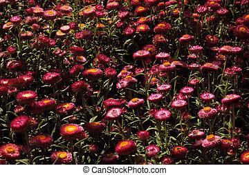 bonito, magentas, helichrysum, flor, fundo