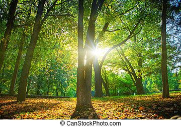 bonito, manhã, cena, em, a, floresta, com, raios sol