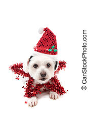 bonito, natal, estrela, cão