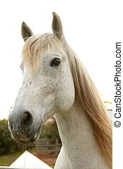 bonito, olhar, cavalo, câmera, branca