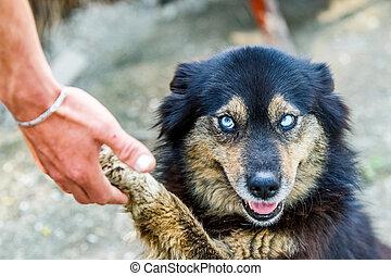 bonito, olhos azuis, cão