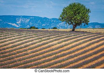 bonito, paisagem, de, florescer, cor campo alfazema, árvore, uphill, ligado, horizon., provence, frança, europe.