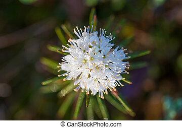bonito, paisagem, natural, habitat., flower., primavera, pântano, pântano, crescendo, wetland, labradors