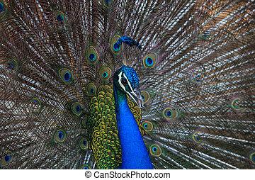 bonito, pavão, cima, plumage, indianas, fantail, ...