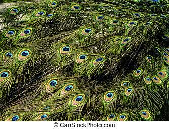 bonito, pavão, coloridos, padrão, penas, rabo