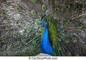 bonito, pavão, exibindo, seu, coloridos, rabo, jardim zoológico, tbilisi
