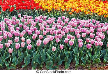 bonito, primavera, multicolor, flores, tulipa