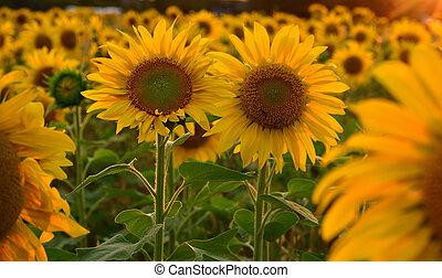 bonito, raios, girassol, sol, grande, armando, flores