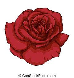 bonito,  rosÈ, efeito, isolado, aquarela, fundo, branca, vermelho