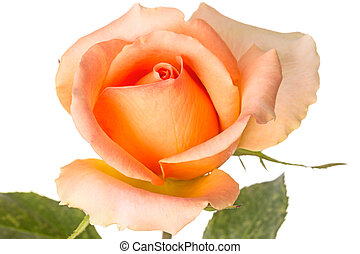 bonito, rosa alaranjada, ligado, um, branca