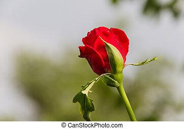 bonito, rosa brota, em, meu, jardim, em, verão