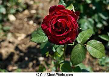 bonito, rosa, em, natureza