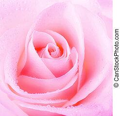 bonito, rosa, flor