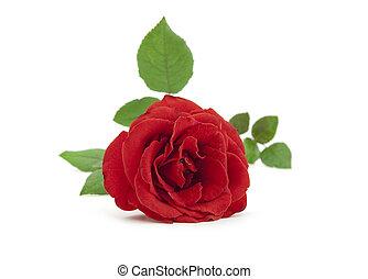 bonito, rosa, folhas, fundo, branco vermelho