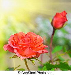 bonito, rosa, jardim, vermelho