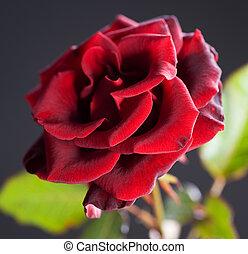 bonito, rosa, sobre, preto vermelho