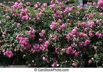bonito, rosas, em, natureza