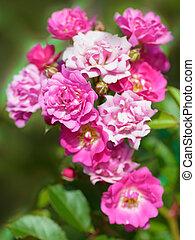 bonito, rosas, pulverizador, jardim
