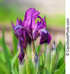 bonito, roxo, primavera, íris, flores