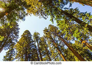 bonito, sequoias, grande, parque nacional, sequoia, alto