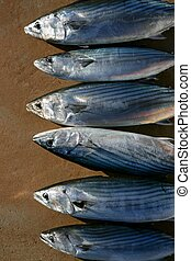 Bonito, skipjack tuna, Sarda Sarda in a row, fresh fish