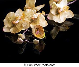 bonito, sobre, pretas, orquídea