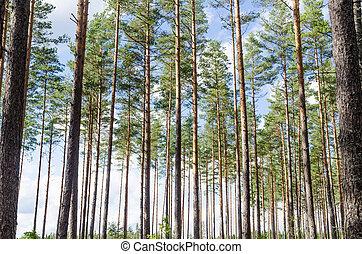 bonito, troncos, árvore, fundo