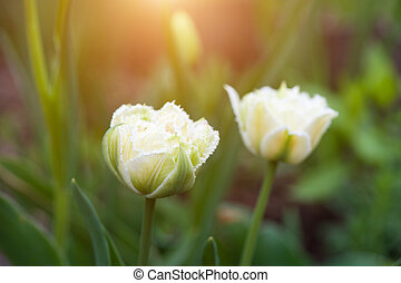 bonito, tulips, branca, dois