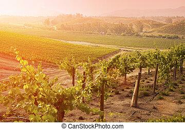bonito, uva, sol, luxuriante, manhã, vinhedo, névoa