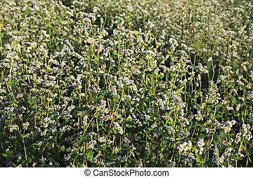 bonito, verão, campo, de, buckwheat., planta, fim, cima.