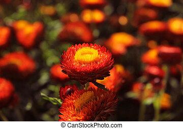 bonito, vermelho, helichrysum, flor, com, vermelho verde, fundo