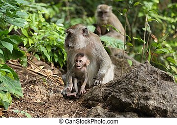 Bonnet Macaque family  (Macaca fascicularis)