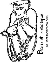 Bonnet macaque - vector illustration sketch hand drawn with black lines, isolated on white background