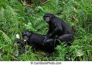 bonobo, mating.