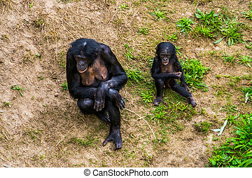 bonobo mother sitting together with her infant in the grass, Human ape baby, pygmy chimpanzees, Endangered primate specie from Africa