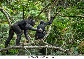 Bonobos (Pan Paniscus) on a tree branch in the jungle. Democratic Republic of Congo. Africa