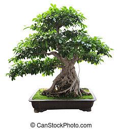 bonsai, árvore banyan