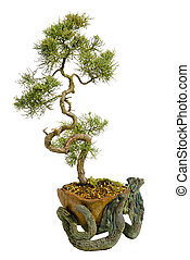 bonsai の 木, 背景, 隔離された, 日本語, 白