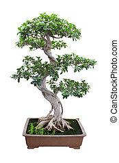 bonsai banyan tree with white background