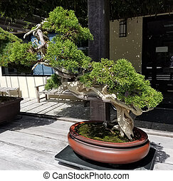 bonsai baum kiefer bonsai immergr ner baum miniatur. Black Bedroom Furniture Sets. Home Design Ideas