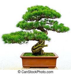 bonsai baum, kiefer