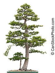 bonsai, elm, árvore, elegante, fundo, branca