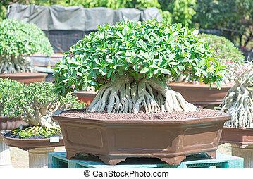 bonsai, estilo, flor, rosa, adenium, desierto, o