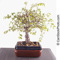 bonsai, felett, asztal