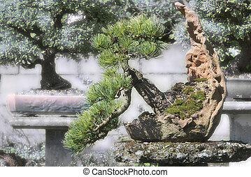 bonsai, impeccable, dans jardin, picea