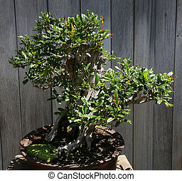 Bonsai in a japanese garden