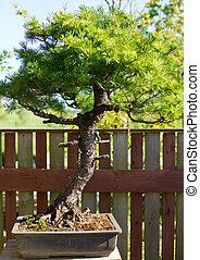 bonsai, in, den, kruka