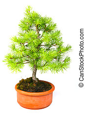 Bonsai larch