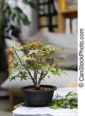 Bonsai maple tree in a clay pot
